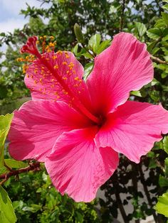 Super Ideas for tattoo flower hibiscus pink Tropical Flowers, Hawaiian Flowers, Hibiscus Flowers, Flowers Nature, Exotic Flowers, Amazing Flowers, Pink Flowers, Beautiful Flowers, Lilies Flowers