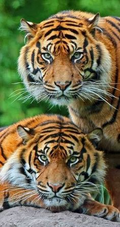 Tigers-possibly the most beautiful animal of all.