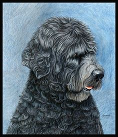 Portuguese Water Dog by wildlife and colored pencil artist Gemma Gylling
