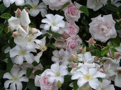 New Dawn rose and Clematis, Huldine in Anthony's garden
