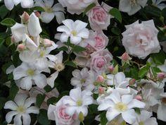 rabatt rosor New Dawn rose and Clematis, Huldine in Anthonys garden New Dawn Climbing Rose, Climbing Roses, Garden Nook, Garden Whimsy, Most Beautiful Gardens, Beautiful Flowers, Seaside Garden, Flowering Vines, Rose Cottage