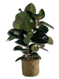 Ficus Robusta 100/110cm Ficus, Deco Design, Decoration, Houseplants, Plant Leaves, Planter Pots, Cheers, Gardening, Turquoise