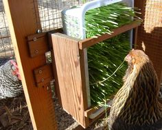 Chicken grass feeder