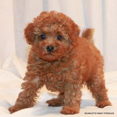 Available Puppies: Red and Apricot Poodles | Scarlet's Fancy Poodles