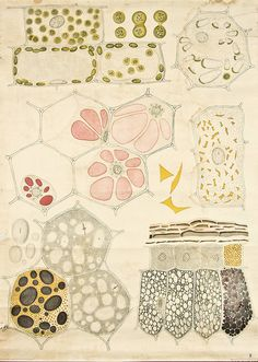 Cell organelles and cytoplasm visualisation -- Anatomia Vegetal 1929, pub. by FE Wachsmuth b by peacay, via Flickr
