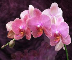 Orchid Spray - fine art print available through my Fine Art America gallery.