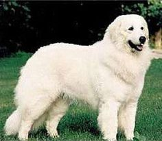 Maremma Sheepdog - now this is an awesome dog!