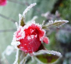 Rose in the Snow