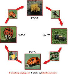 go by several other names: and All ladybugs progress through a life cycle known as complete The stages as a the egg stage, the larvae stage, the pupa stage, and the adult ladybug stage. Kindergarten Science, Elementary Science, Science Classroom, Teaching Science, Science For Kids, Science Activities, Life Science, Sequencing Activities, Insects