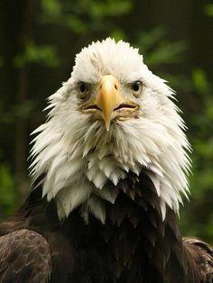 bald eagle  (photo by stavenn)