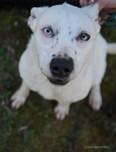 Meet Wynter Snow, a Petfinder adoptable Siberian Husky Dog | Farmington Hills, MI | This is Wynter Snow--she is deaf. She will require unique training with her new family. She loves...