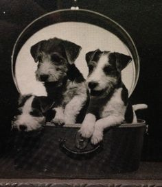 Wire Fox Terrier puppies in a suitcase. Antique Photo.