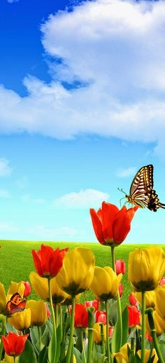 Incredibly beautiful blue sky with tulips and butterflies!