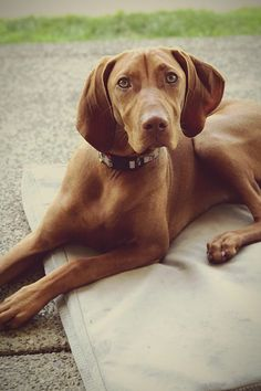 22 Best Medium Sized Dogs for Families - PureWow Best Medium Sized Dogs, Medium Dogs, Welsh Springer Spaniel, Boykin Spaniel, Dog Separation Anxiety, Standard Schnauzer, Getting A Puppy, Dog Park, Family Dogs