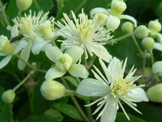 Clematis - helping us to regain our vibrancy, purpose and appetite for life when we feel stuck in dreaminess, absentmindedness and low energy.