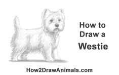 Learn how to draw a West Highland White Terrier Dog with this how-to video and step-by-step drawing instructions. Westies, Westie Dog, Animal Sketches, Animal Drawings, Cool Drawings, Dog Drawing Tutorial, Dog Steps, Animal Doodles, Dog Artwork