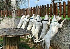 Guarding the premises . Cut Animals, Animals And Pets, Dog Argentino, Hog Dog, Cute Dog Pictures, Bully Dog, Pit Bull Love, Working Dogs, Doberman