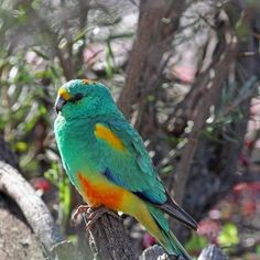 The Mulga Parrot (Psephotus varius), also known as the Many-colored Parrot, is endemic in arid scrublands and lightly timbered grasslands in the interior of southern Australia.