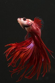 Crown Tail - photo by Andrew Williams.  I think this is my next betta color to have. :)