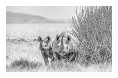 Rare desert black rhino and calf in BW wildlife print