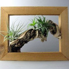 Air plants are easy to grow and suitable for any place. In this article we have discussed 55 attractive air plant display ideas. Indoor Water Garden, Indoor Plants, Water Gardens, Plant Wall, Plant Decor, Air Plant Display, Air Plant Terrarium, Garden Terrarium, Decoration Plante