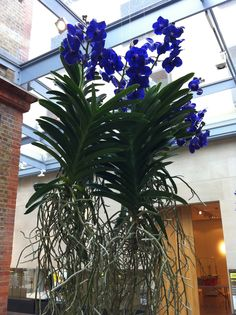 Vanda orchids suspended from ceiling
