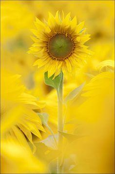 I love yellow, and I love sunflowers!