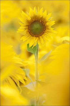 I love yellow, and I love sunflowers!