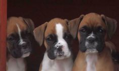 Boxer dogs and puppy pictures by siacybox