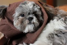 No-sew Ewok dog costume... My Mom has a dog that looks JUST LIKE THIS!! I've said this ALL ALONG!! Can't believe I found this! hahahahaha