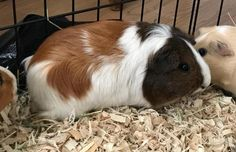 Pups & Pals; Los Alamitos, CA. Wimlah!! <3 • 1.5 yr Guinea Pig. Having been through 2 homes, she really needs her forever home! Wimlah & her 2 friends Meehni & Gunnedoo are named from an Australian legend. They'd love to find a home together, but if you have another female, you are welcome to adopt 1. She is tame, ok being held & loves veggies! If interested in meeting/adopting her please email pupsandpalsrescue@yahoo.com for the guinea pig application. Guinea pigs are in foster.