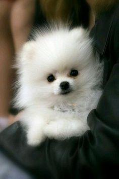 Pomeranian Breed, White Pomeranian, Teacup Pomeranian, Pomeranians, Pomsky, Cute Dogs And Puppies, Baby Dogs, Puppies Tips, Doggies