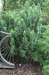 Find Upright Japanese Plum Yew (Cephalotaxus harringtonia 'Fastigiata') in Columbus Dublin Delaware Grove City Gahanna Bexley Ohio OH at Oakland Nurseries Inc (Cow's Tail Pine) Shade Landscaping, Landscaping Near Me, Small Trees For Garden, Garden Trees, Japanese Plum, Pool Plants, Front Yard Plants, Deer Resistant Plants, Grove City