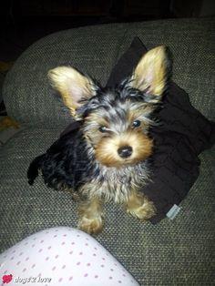 Yorkshire Terrier Shakira  Batmann!   Rasse: Yorkshire Terrier / Name: Shakira     Mehr lesen: http://d2l.in/2h  dogs2love - Gassi gehen zum Verlieben. Partnerbörse für alle, die Hunde lieben.  Bild, Dating, Foto, Hund, Single