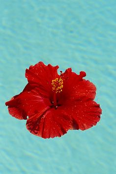 Red Hibiscus - frequently offered to the gods during prayers and rituals in India. It is said to have numerous healing properties