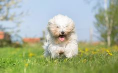 Get to Know the Coton de Tulear | Dogster