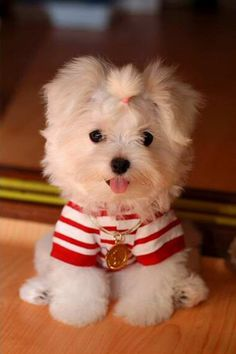 Am I cute or what?...this Maltese wants to know.  Now THIS makes me want my own little fur baby.  Haley would just freak.