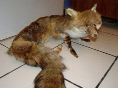 Badly stuffed foxes - Imgur