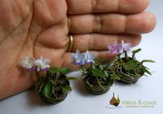 Mini Orquídeas Cattleyas walkerianas