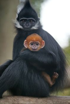 Baby langur monkeys