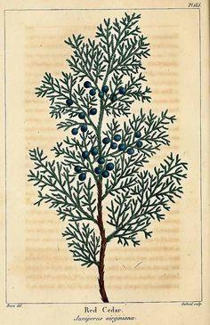 Juniperus virginiana L. - red cedar Michaux, F.A., The North American sylva, vol. 3: t. 155 (1819)
