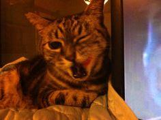 Cat Rhino. #cat #americanshorthair