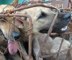 One step at at a time to stop this cruel dog meat festival and hopefully this awful dogmeat trade....