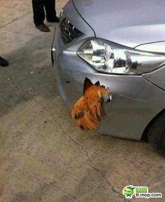 无敌中国公鸡大战丰田车 公鸡中的战斗鸡!欧耶