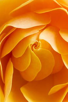 Orange Rose photographed by Clive Nichols