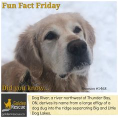 The best things are always named after dogs! #goldenretriever #FunFactFriday #secondchances Friday Yay, Fun Fact Friday, English Mastiff Dog, Mastiff Dogs, Friday Facts, Tallest Dog, Happy Canada Day, Valentines Day Activities, Dog Years