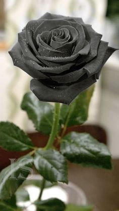 This Rose are very Beautiful Beautiful Flowers Wallpapers, Beautiful Rose Flowers, Unusual Flowers, Rare Flowers, Amazing Flowers, Black Rose Flower, Black Flowers, Black Roses Wallpaper, Gothic Garden