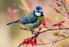 Such a great photo.  Just love the blue tit on the Japanese Maple, such beautiful colours.  Blue tit by Geoff Carpenter on redbubble.com