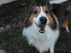 Toby2 is an adoptable Shetland Sheepdog Sheltie Dog in Palm Bay, FL. APPLICATION IS REQUIRED PLEASE GO TO OUR WEB SITE WWW.MIDFLSHELTIERESCUE.COM For safety reasons, an Adoption Application must be fi...