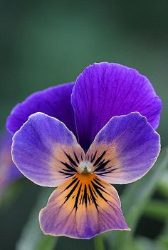 Viola - Sorbet..reminds me of Mom..she loved  Pansies...<3